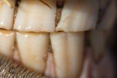 I denti del cavallo Fotografia Stock