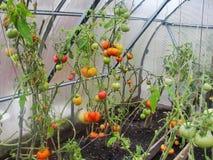 I det trädgårds- växthuset mognande gröna tomater på filialen av en Bush växt tomate i trädgården Royaltyfri Fotografi