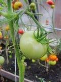 I det trädgårds- växthuset mognande gröna tomater på filialen av en Bush växt tomate i trädgården Royaltyfri Bild