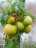 I det trädgårds- växthuset mognande gröna tomater på filialen av en Bush växt tomate i trädgården Royaltyfri Foto