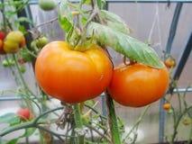 I det trädgårds- växthuset mognande gröna tomater på filialen av en Bush växt tomate i trädgården Roma och citronpojketomater Royaltyfri Bild