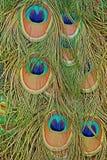 I dettagli di una coda del pavone con la piuma osserva in blu saturati e nei verdi Immagine Stock