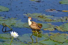 Comb Crested Jacana in Kakadu Royalty Free Stock Photos