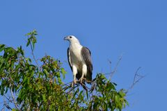 White bellied sea eagle in Kakadu Royalty Free Stock Photography
