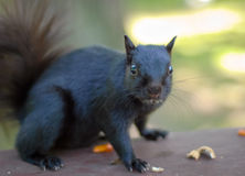 Black Squirrel on a picnic table in the park, Appears to say I didnt  Royalty Free Stock Photos