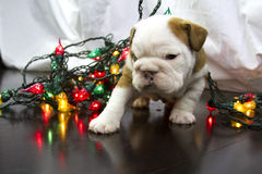 I didnt do it, bulldog puppy with christmas lights Royalty Free Stock Images
