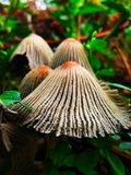 This is agaricus stock photo