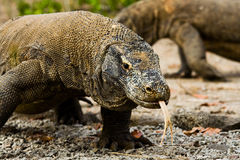 I draghi di Komodo cercano l'alimento Immagini Stock Libere da Diritti