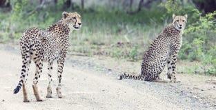 I due fratelli del ghepardo camminano in una strada che cerca la preda Fotografia Stock Libera da Diritti