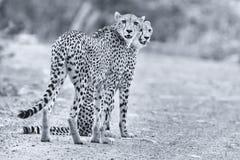 I due fratelli del ghepardo camminano in una strada che cerca la preda Immagini Stock