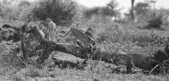 I due fratelli del ghepardo scalano sull'albero per cercare la preda Fotografia Stock