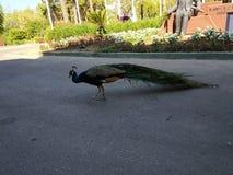 I ett av hotellen i Turkiet Påfågel royaltyfri foto