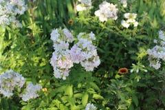 I fältet väx fluffiga vita blommor Arkivfoto