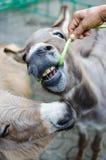 I fagioli dell'alpaga sono mangiati Immagine Stock Libera da Diritti