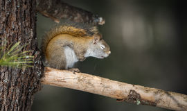 I falls asleep. Sleepy springtime Red squirrel with eyes closed, resting on a pine tree branch in a woods. Sitting on a branch, he appears to be very tired with stock photography