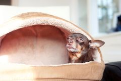 I feel comfortable! Small toy-terrier dog in pet house Stock Photography
