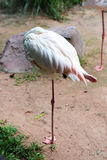 I fenicotteri dell'uccello Immagine Stock