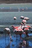 I fenicotteri di James si chiudono su Laguna Hedionda Dipartimento di Potosà bolivia Fotografie Stock Libere da Diritti