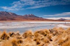 I fenicotteri di Laguna Colorada del Altiplano del sud della Bolivia Fotografie Stock Libere da Diritti