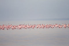 I fenicotteri sul lago Eyasi (Tanzania) Fotografie Stock