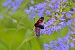 I filipendulae di Zygaena della farfalla sul Veronica blu fioriscono la seduta Fotografie Stock