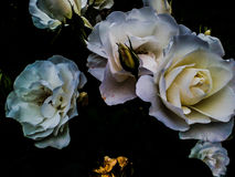 I fiori Immagine Stock