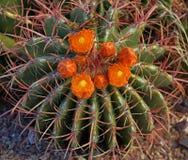 I fiori arancio del rosso hanno sprecato il cactus di barilotto Fotografie Stock