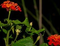 I fiori arancio della lantana emergono dopo la pioggia del monsone del deserto Fotografia Stock