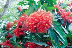 I fiori arancio e rossi di ashoka stanno fiorendo così bello fotografie stock