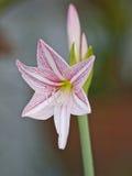 I fiori beautyful: Hippeastrum fotografia stock libera da diritti