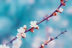 I fiori bianchi del ciliegio sbocciano sul ramo di albero in primavera fotografia stock
