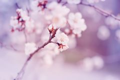 I fiori bianchi del ciliegio sbocciano sul ramo in primavera fotografia stock libera da diritti