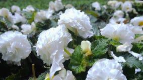 I fiori bianchi del giardino si chiudono su archivi video
