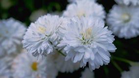 I fiori bianchi del giardino si chiudono su stock footage