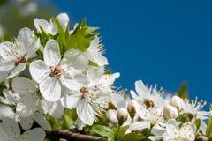 I fiori bianchi della ciliegia balzano fioritura con cielo blu su fondo Fine sul colpo artistico immagini stock libere da diritti