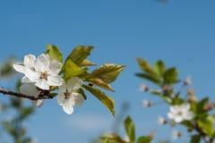 I fiori bianchi della ciliegia balzano fioritura con cielo blu su fondo Fine sul colpo artistico fotografia stock