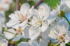I fiori bianchi della ciliegia balzano fioritura Fine sul colpo artistico fotografia stock