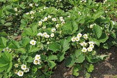 I fiori bianchi della fragola si sviluppano nel giardino Fragole di fioritura in primavera Fotografia Stock