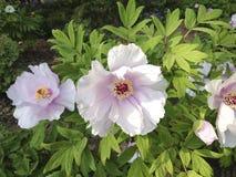I fiori bianchi e di rosa della montagna della peonia sbocciano fotografia stock