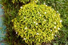 I fiori bianchi nella foglia verde immagine stock libera da diritti