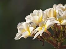 I fiori bianchi: Plumeria fotografia stock libera da diritti