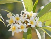 I fiori bianchi: Plumeria fotografie stock libere da diritti