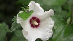 I fiori bianchi si chiudono su di Rosa di Sharon o di altea Hibiscus syriacus dopo una pioggia, le gocce di rugiada sui petali e  archivi video