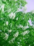 I fiori bianchi sono sbocciato su una castagna Fotografia Stock