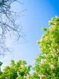 I fiori bianchi sono sbocciato su una castagna Fotografia Stock Libera da Diritti