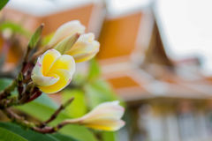 I fiori bianchi sono stati piantati davanti al tempio Immagini Stock