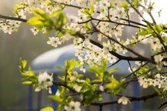 I fiori bianchi su un albero da frutto si ramifica vicino al gazebo bianco Immagine Stock