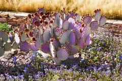 I fiori blu del cactus viola abbandonano il giardino Arizona Fotografia Stock