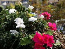 I fiori in Camara de Lobos un paesino di pescatori vicino alla città di Funchal ed ha alcune di più alte scogliere nel mondo Fotografie Stock