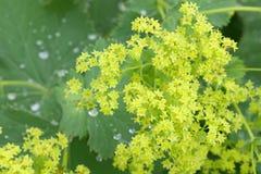 I fiori comuni del manto di Lady's con la mattina inumidisce sulle foglie fotografie stock